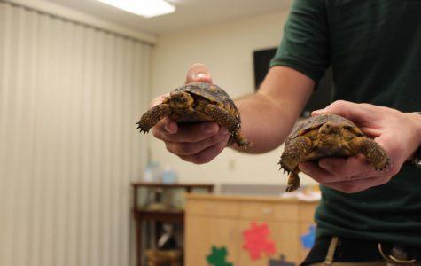 Two Desert Tortoises