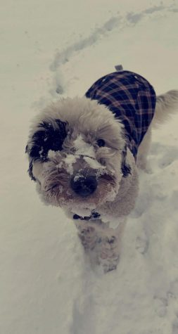 An image of a snowy dog out playing on a winter day.